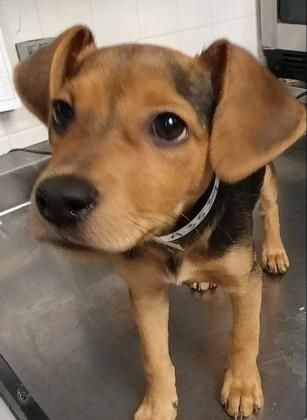 Animal Id 35395885 Species Dog Breed Beagle Mix Age 4 Months 6