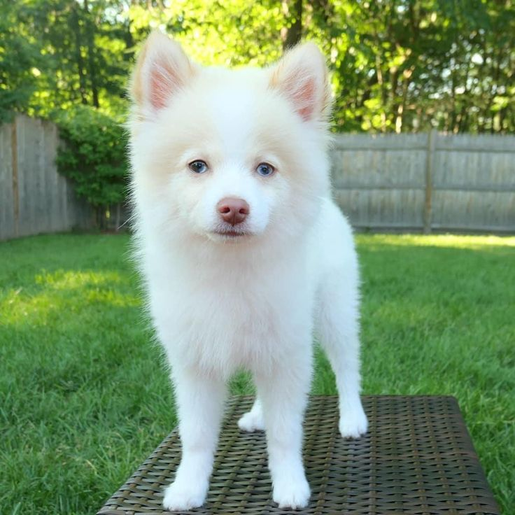 Available Pomsky Puppies For Sale Philippine Deals Pomsky