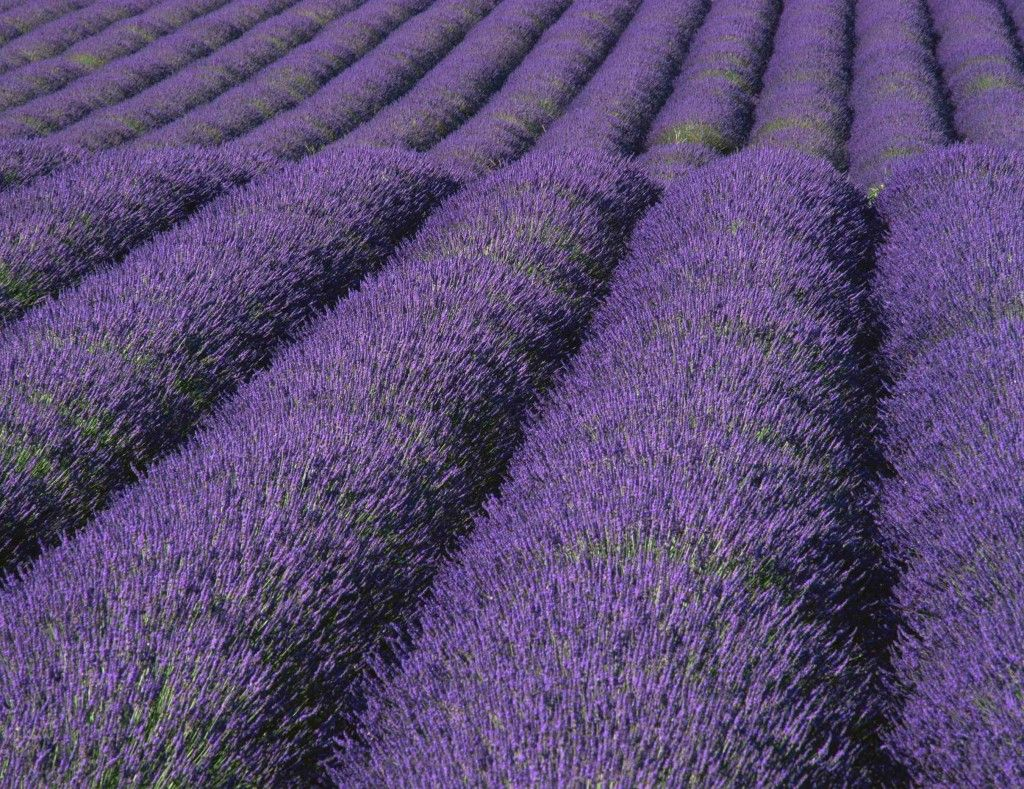 Seven Ways To Profit Growing Medicinal Herbs Lavender Medicinal