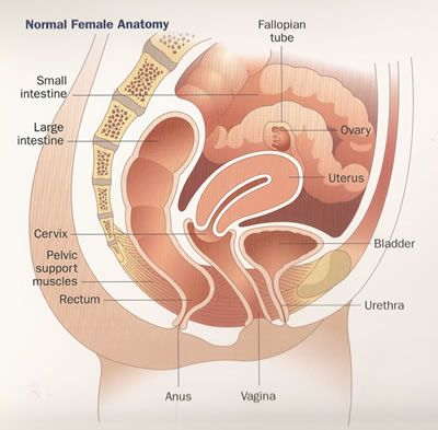 Female Anatomy Macobgyn Gynecology Anatomy Gynecology