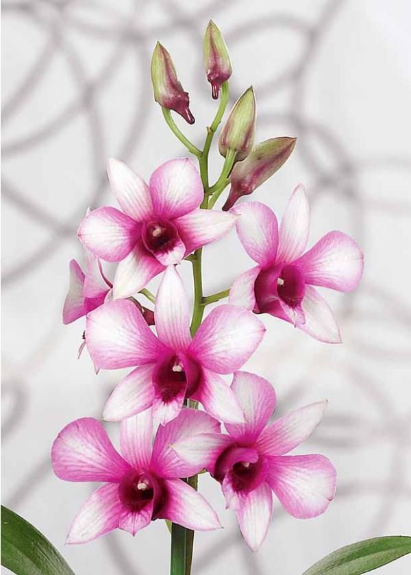 Orchidee Achat Vente D Orchidees D Interieur Chez Willemse Orchidee Orchidee Phalaenopsis Fleurs Incroyables