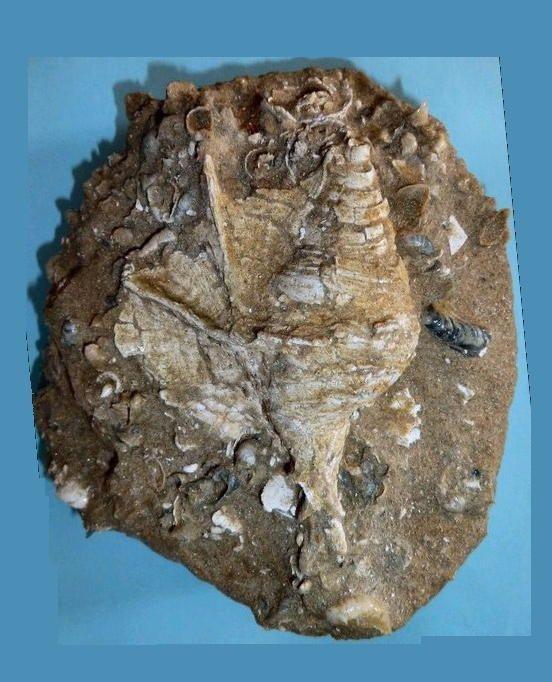 Maussenetia staadti aff. N18, sur fossilshells.nl, coll. Stichting Schepsel Schelp, Cauroy, Bassin de Paris