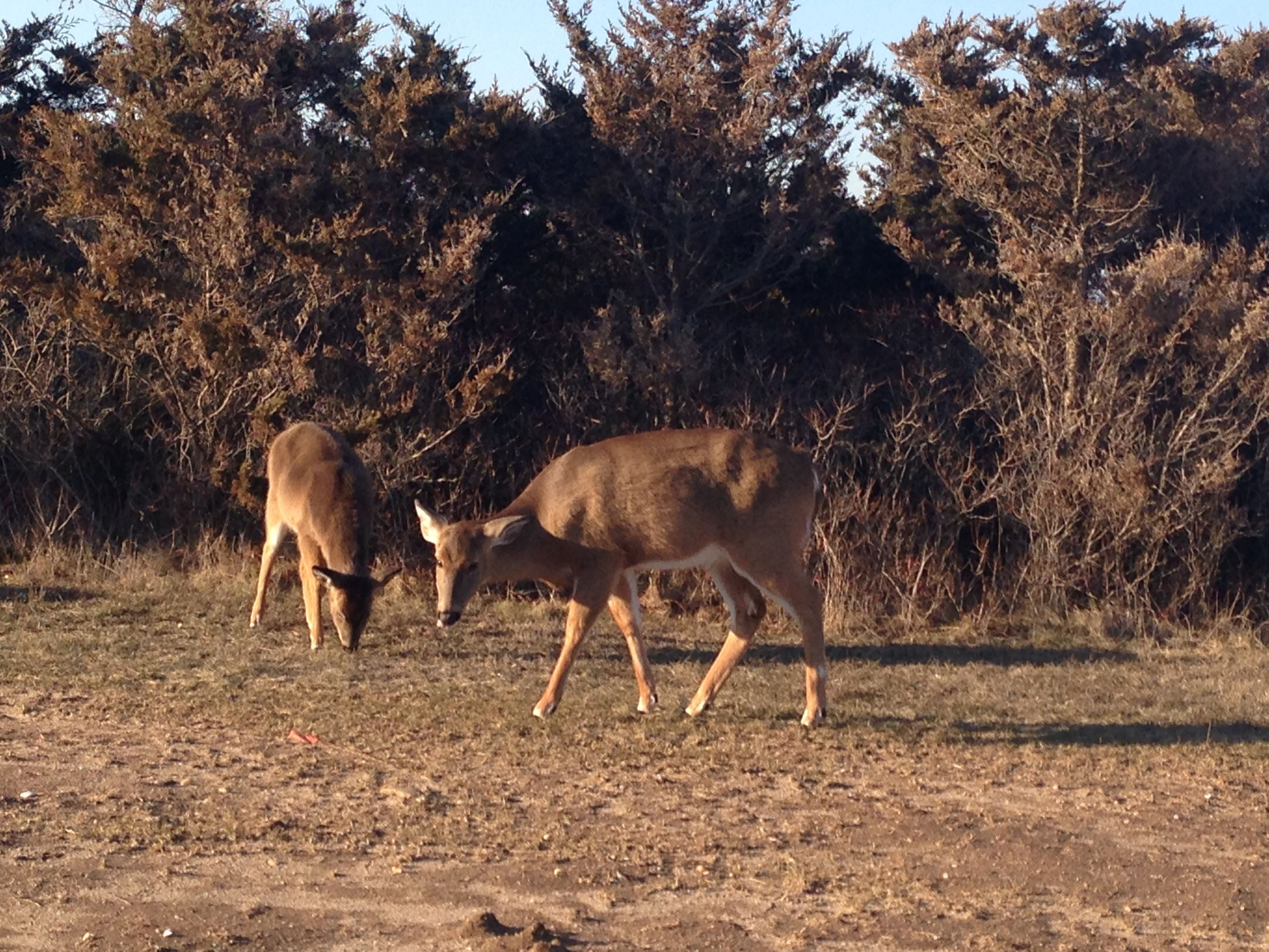 Deer At Robert Moses Beach