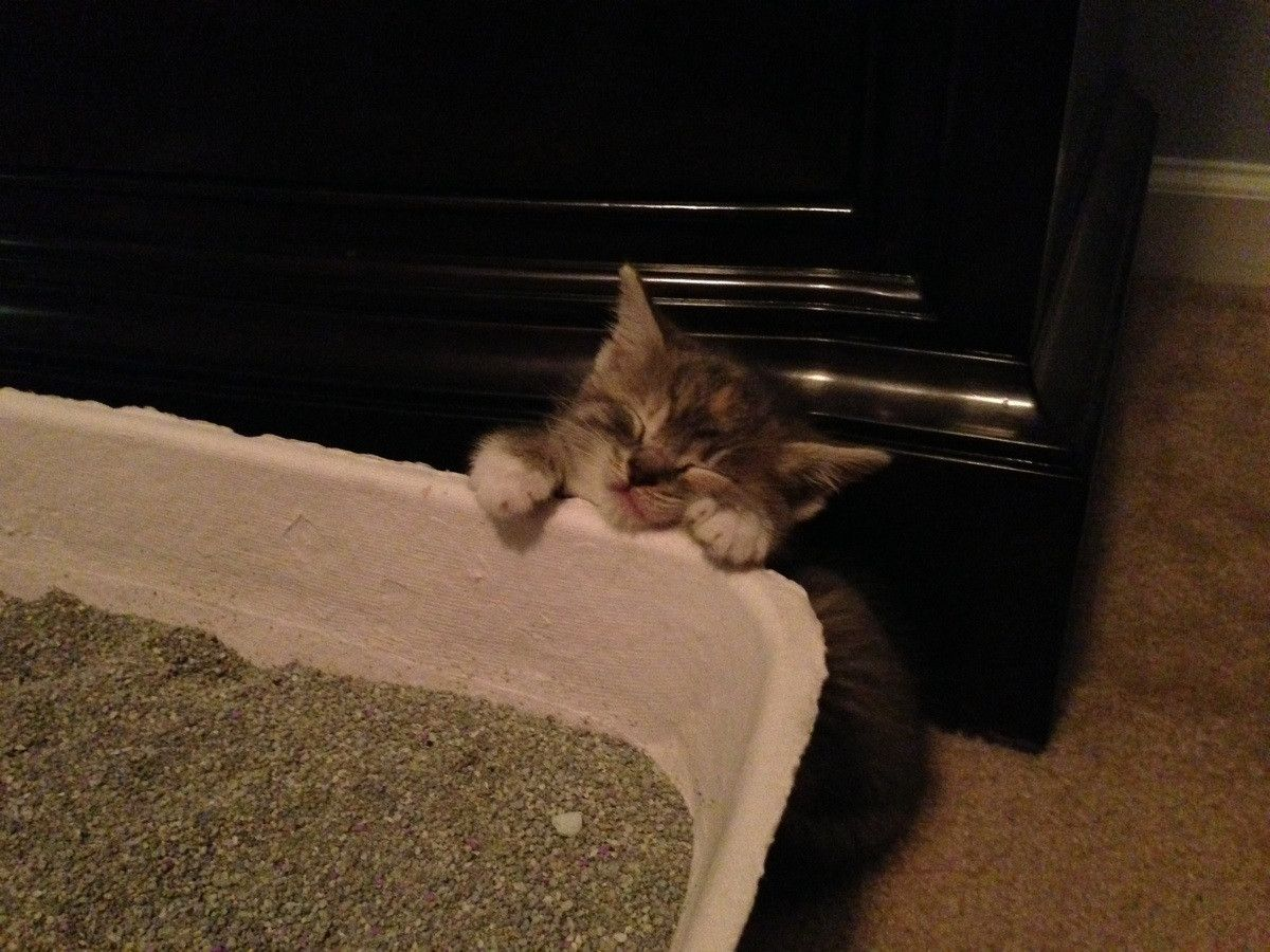 Baby Kitten Fell Asleep Trying To Climb In Her Litter Box Baby Kittens Sleeping Kitten Kitten