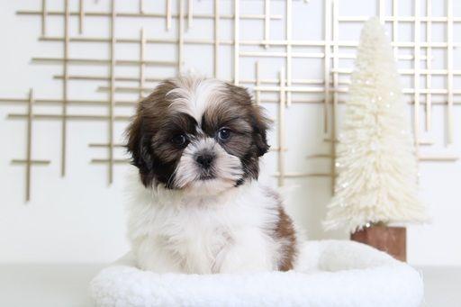 Shih Tzu Puppy For Sale In Bel Air Md Adn 70527 On Puppyfinder Com Gender Male Age 13 Weeks Old Puppies For Sale Shih Tzu Puppy Shih Tzu