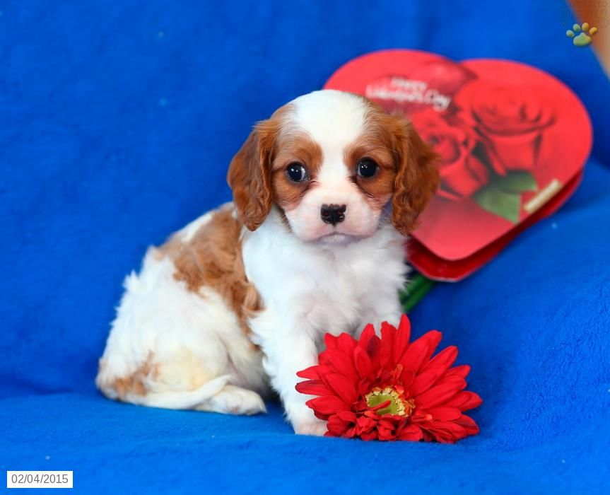 Lucy Cavalier King Charles Spaniel Puppy For Sale In Lititz Pa King Charles Cavalier Spaniel Puppy Spaniel Puppies For Sale King Charles Spaniel