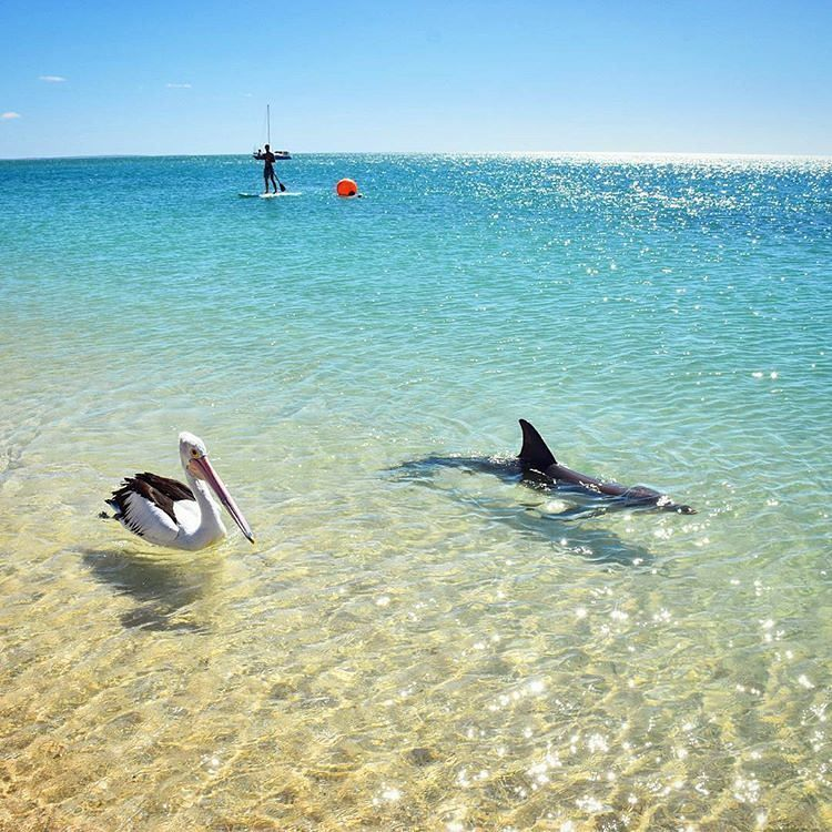 Best Buddies Taking An Afternoon Stroll Monkey Mia Western Australia Ocean Photo