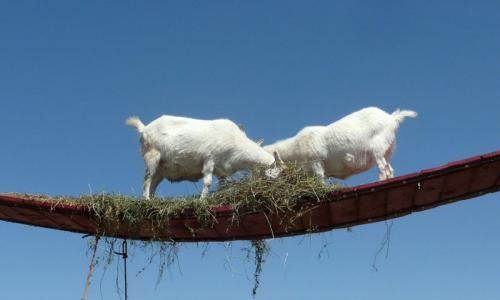 Billy Goats On The Bridge At Old Macdonald S Farm Petting Zoo Highway 16 South Of Rapid City Zoo Animals Places To Visit Places To See