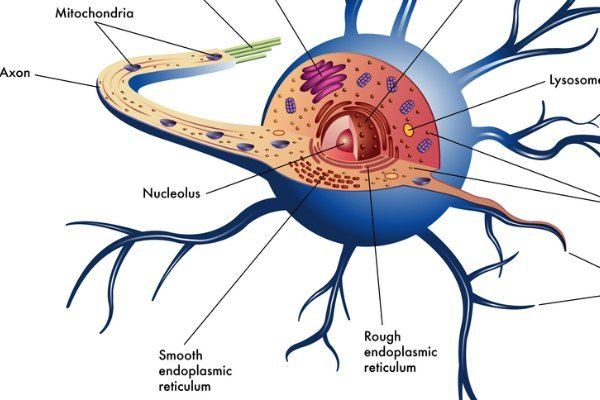 Labelled Diagram Of Nerve Cell Meiosis 1 The Cells Wiring Diagrams For Kids Ahs Pinterest Chart And Rh Com Human
