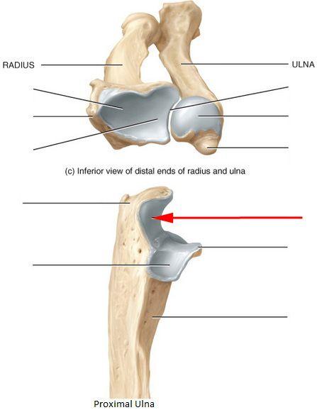 Styloid Process Radius Bone Anatomy Pesquisa Google Corpo Humano
