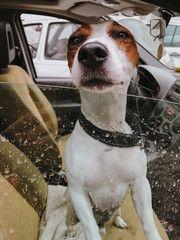 Dog peeking through car window