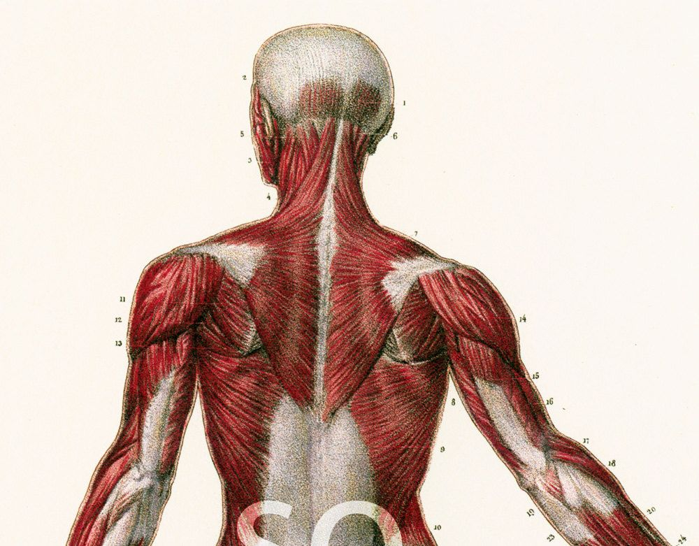 29X40cm Planche Anatomique Muscles Corps Humain Bourgery Poster ...
