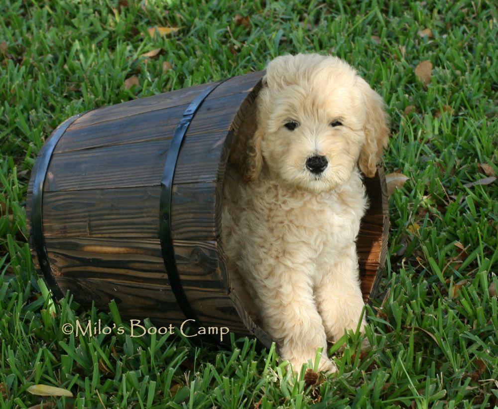 Goldendoodle8 Jpg Jpeg Image 1000x821 Pixels Scaled 75 Goldendoodle Puppy Puppies Goldendoodle