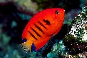 Great Beginner Fish for a Saltwater Aquarium: Flame Angelfish (Centropyge loriculus)