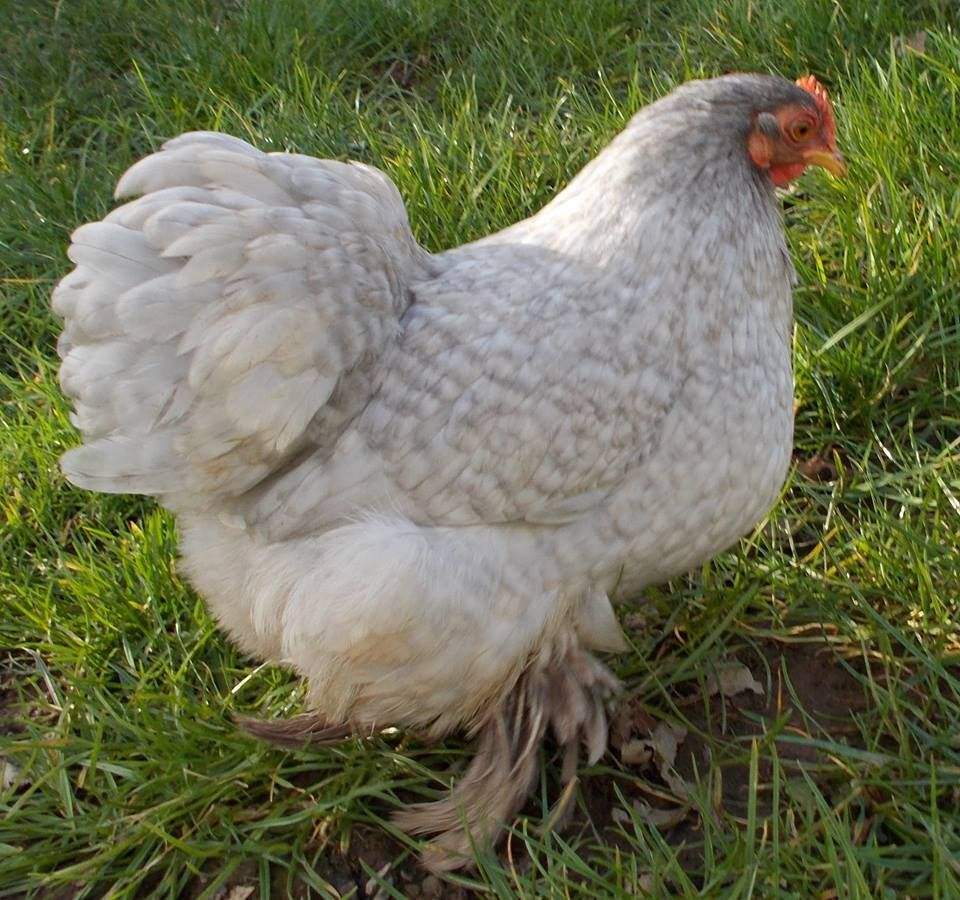 Lavender Cuckoo Pekin Hen running with a Lavender Cuckoo Pekin cockerel.  Hatching eggs for sale