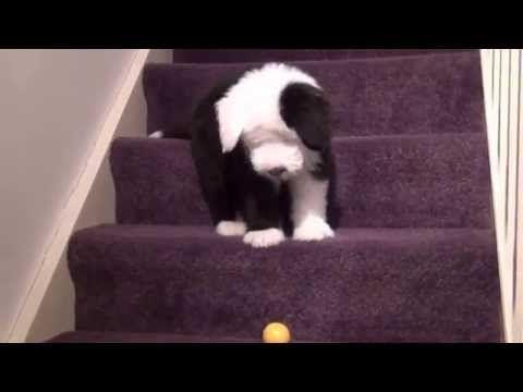 12 Week Old English Sheepdog Puppy Having Fun Cute Funny