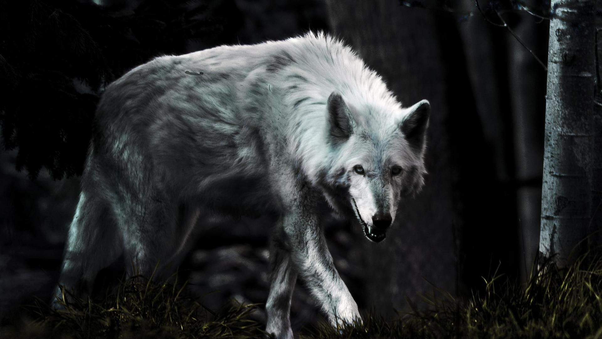 Wolf Hd Wallpapers Backgrounds Wallpaper 900 598 Lone Wolf