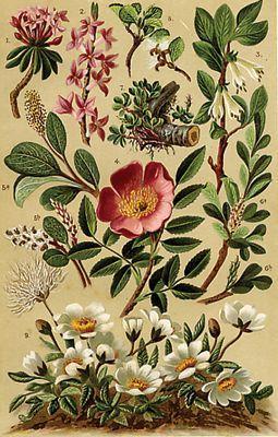 botanical diagrams alpine shrub botanicals pinterest. Black Bedroom Furniture Sets. Home Design Ideas