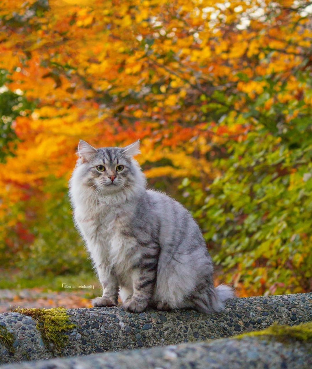 Pin by Katie S on Adorable Animals Siberian forest cat