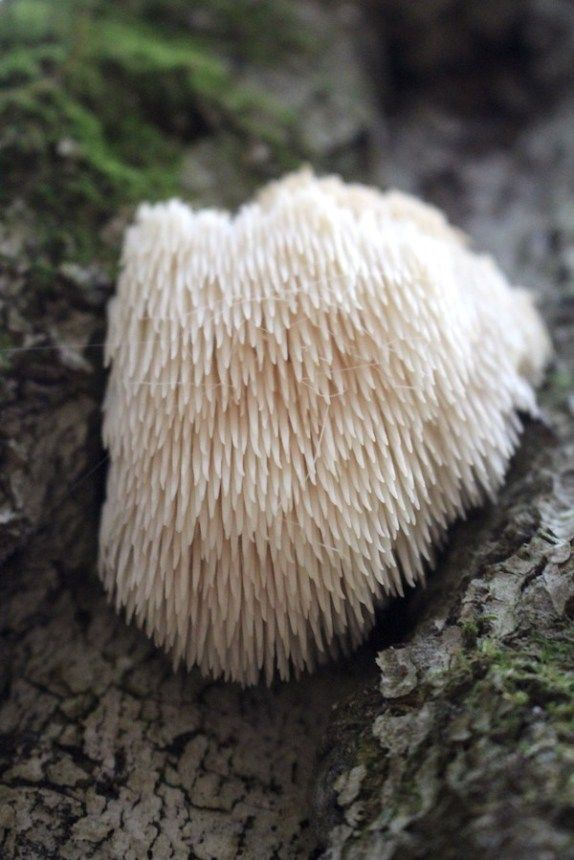 Lion's Mane Mushroom (Hericium Erinaceus): Identification & Uses