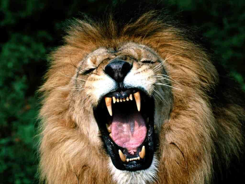 lion roar yawn laugh teeth mouth grimace growl lol rofl laugh ... for Lion Roaring Gif  45jwn