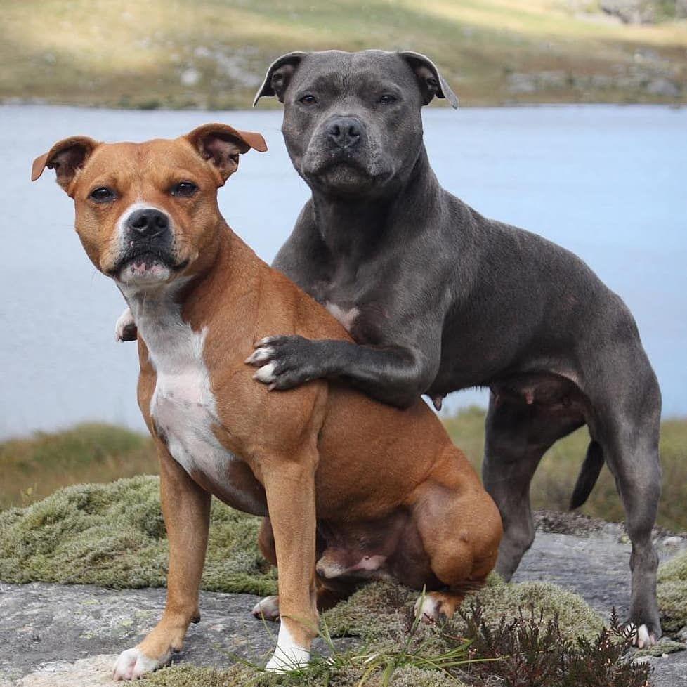 Kampfhunde Von Wegen Pitbull Terrier Bullterrier Pitbull Welpen