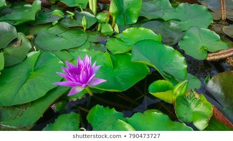 Lotus in the pond Lotus flower Beautiful water and reflection. #aquatic, #background, #beautiful, #beauty, #bloom, #blooming, #blossom, #blue, #botanical, #bright, #closeup, #color, #flora, #floral, #flower, #garden, #green, #lake, #leaf, #lily, #lotus, #macro, #natural, #nature, #outdoor, #petal, #pink, #plant, #pond, #reflection, #single, #spring, #summer, #surface, #tropical, #water, #waterlily, #white, #zen