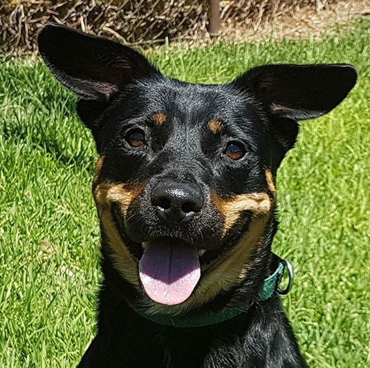 Primera 5 year old female Rottweiler X Kelpie adopted