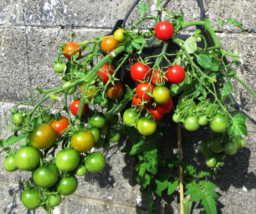 How To Grow Tomatoes From Seed Growing Your Own Tomato Plants