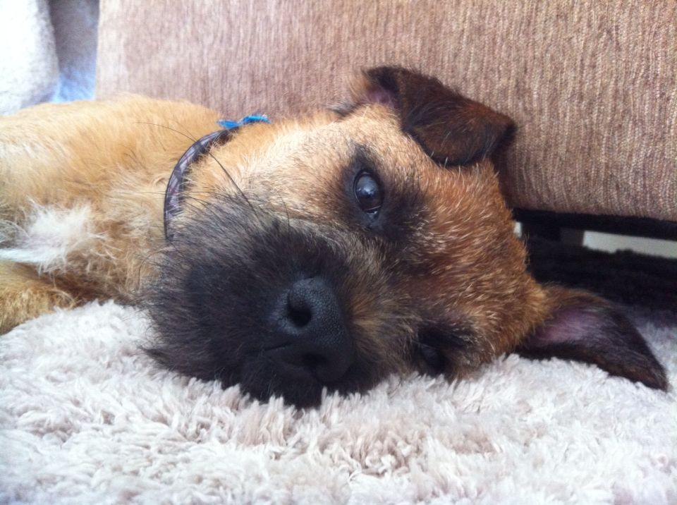 Otto My Border Terrier Fur Baby All Part Of The Family Pets