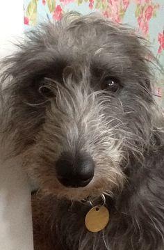 Whippet Bedlington Cross Google Search Dogs Bedlington Whippet Dog Crossbreeds
