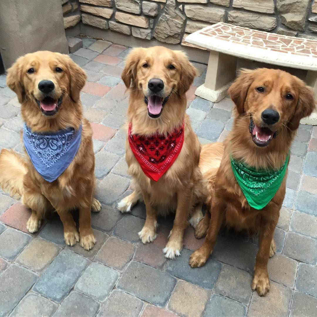 Brody The Golden Retriever Bestiess Dogs