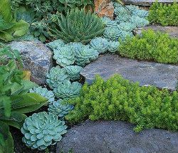 Succulents planted neatly next to and between pavers.