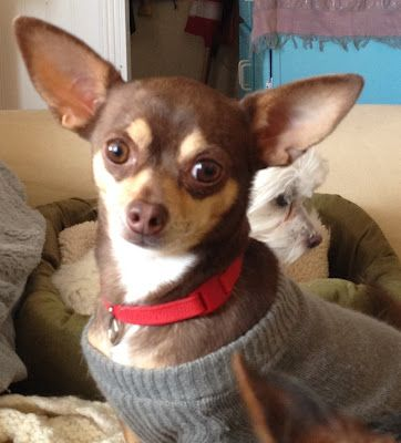 National Mill Dog Rescue Foster Of The Week Spotlight Is A 5 Years Old Chihuahua Adopt Chihuahua S To Forever Homes Now Chihuahua Dogs Chihuahua Love Dogs