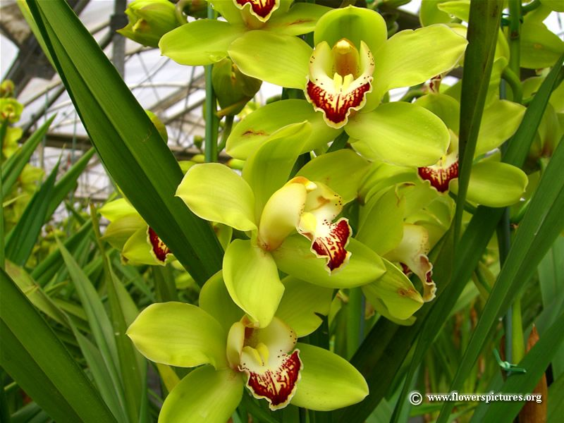 Home Decorating Ideas Life Hacks More Sheknows Cymbidium Orchids Orchids Orchid Flower