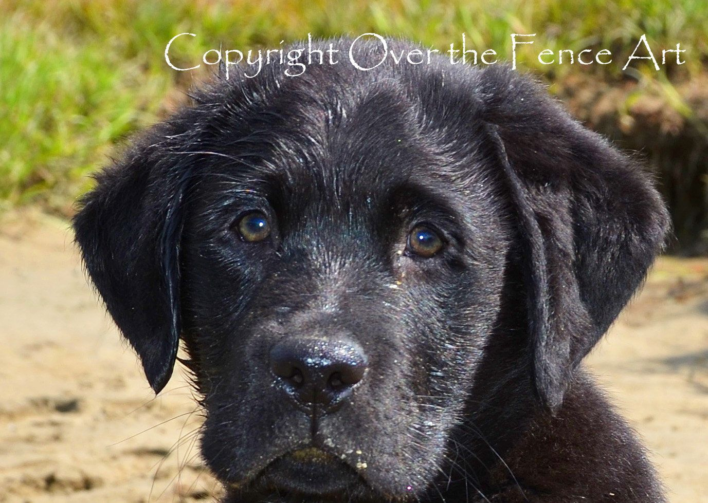 Black Labrador Puppy Fine Art Photo Greeting Card Black Lab Card Print By Overthefenceart On Etsy Black Labrador Puppy Fine Art Photo Labrador
