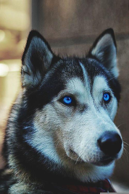Husky Blue Eyes Siberian Husky Dog Most Beautiful Dog Breeds Husky Dogs