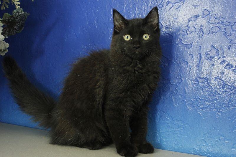 Ada Black Solid Ragdoll Cat Kitten From Www Ragdollkitten Us