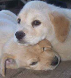 Uno Oooh No Is An Adoptable Golden Retriever Dog In Gobles Mi Pets Name Uno Ooooh No Female Appr Dogs Golden Retriever Golden Retriever Lab Pets