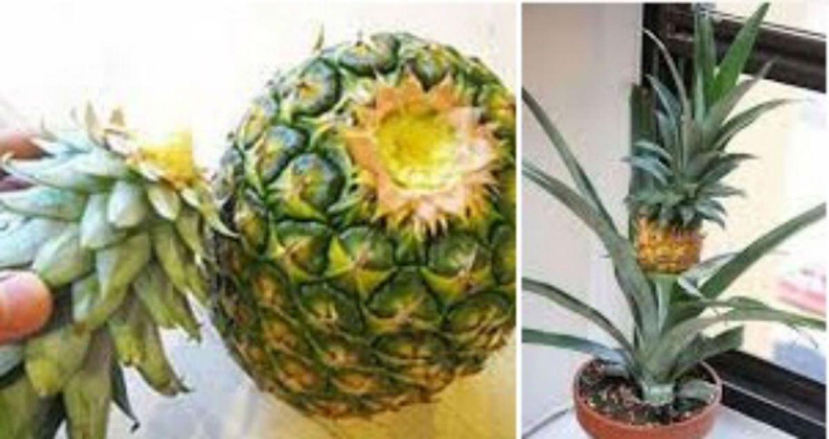 How to grow a whole pineapple from another one like its