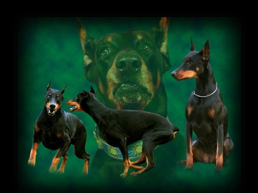 خلفيات كلب دوبرمان Dog Breeds Doberman Pinscher Dogs Doberman dog hd wallpaper