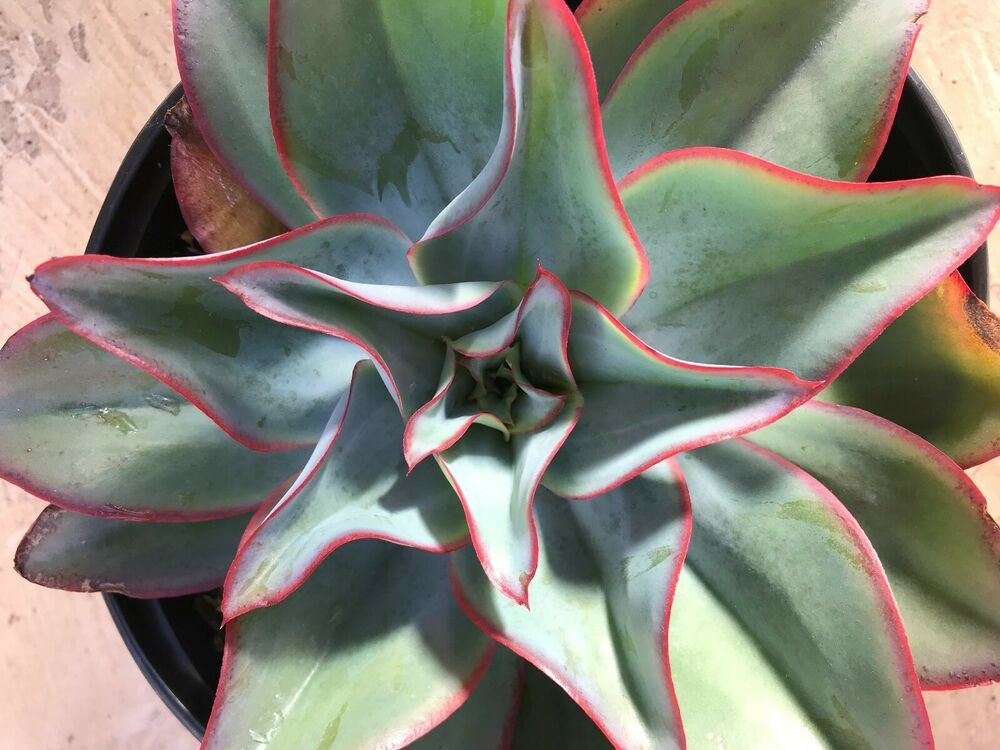 Echeveria Subrigida Fire And Ice Red Edge Echeveria Currently In A 9 Container This Is Not An Issue For The Health Echeveria Plants Planting Succulents