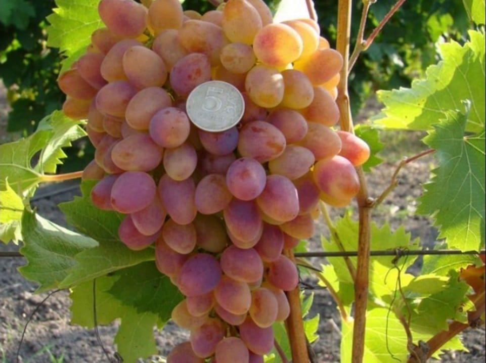 Виноград-видео по выращиванию и уходу 87