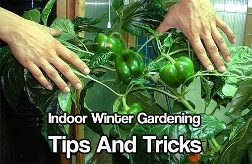 Indoor winter gardening tips and tricks a must have in case the shtf indoor winter gardening tips and tricks a must have in case the shtf free tips on how to grow food indoors over the winter indoor gardening pinterest workwithnaturefo