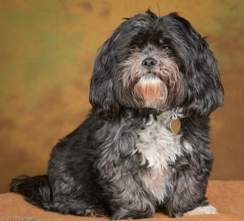 Adopt Casey On Petfinder Lhasa Apso Puppies Lhasa Apso Dog Pictures