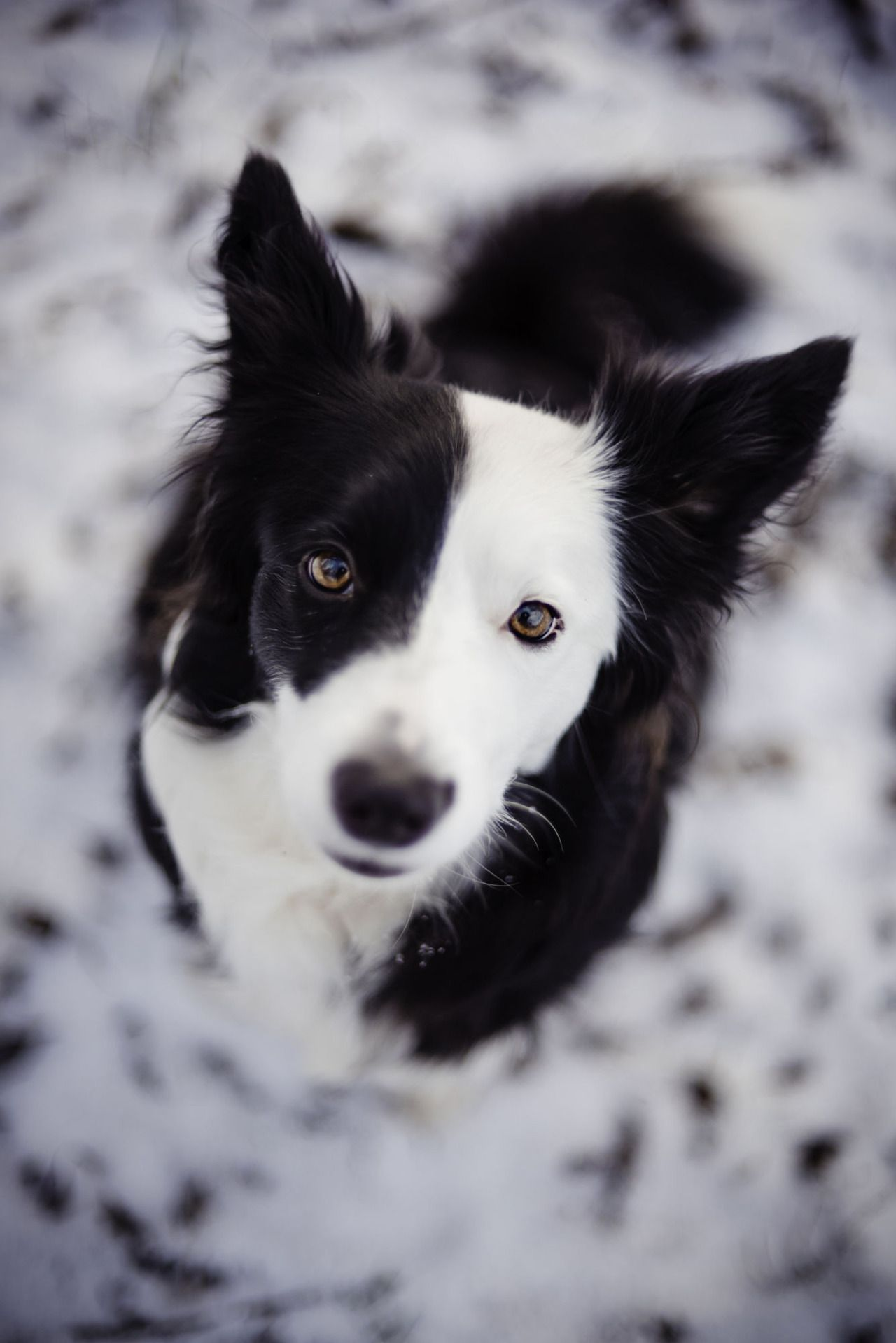 Handsomedogs Katerina Kasparova Coco Border Collies And More