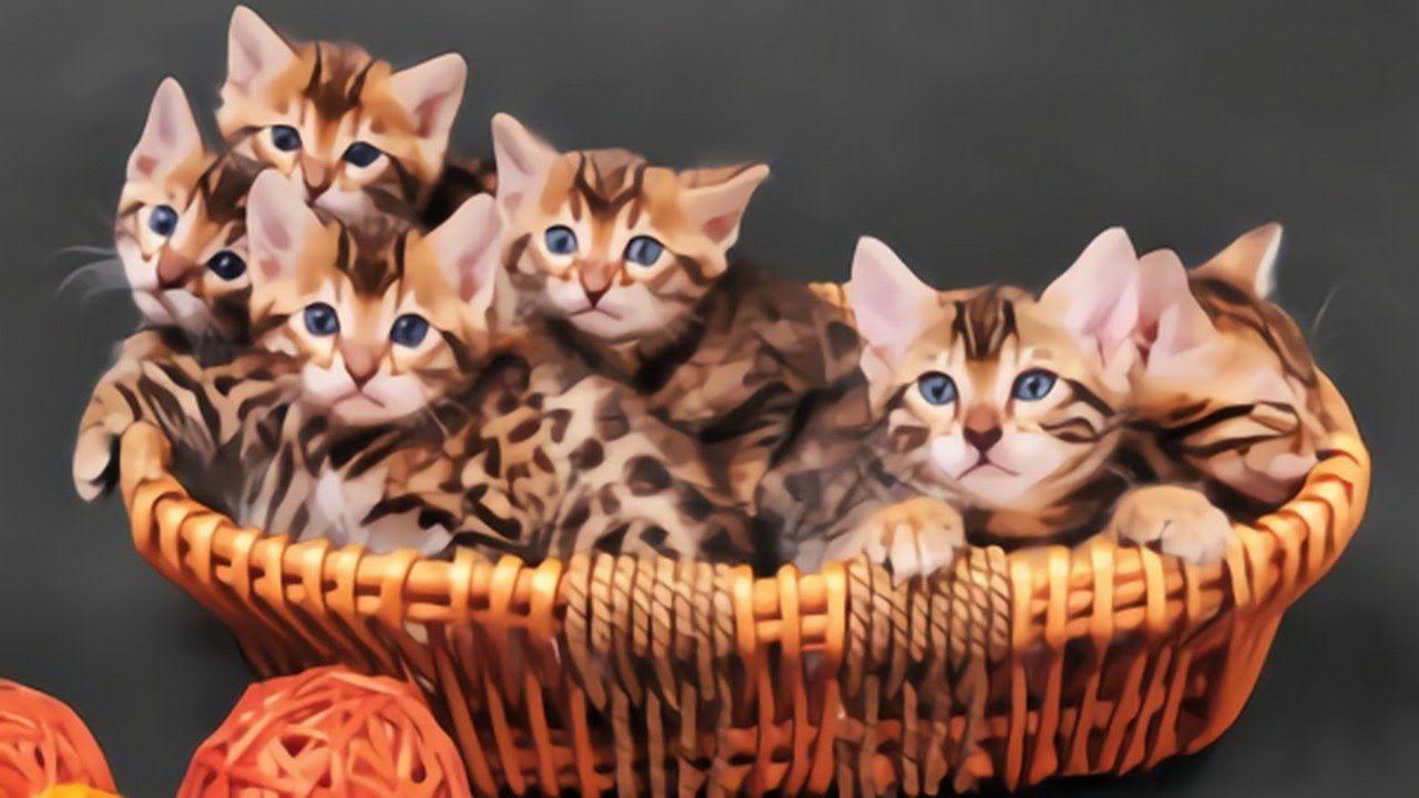 New Bengal Cats Prices Range Bengal Cat Price Bengal Cat Bengal Cat Cost