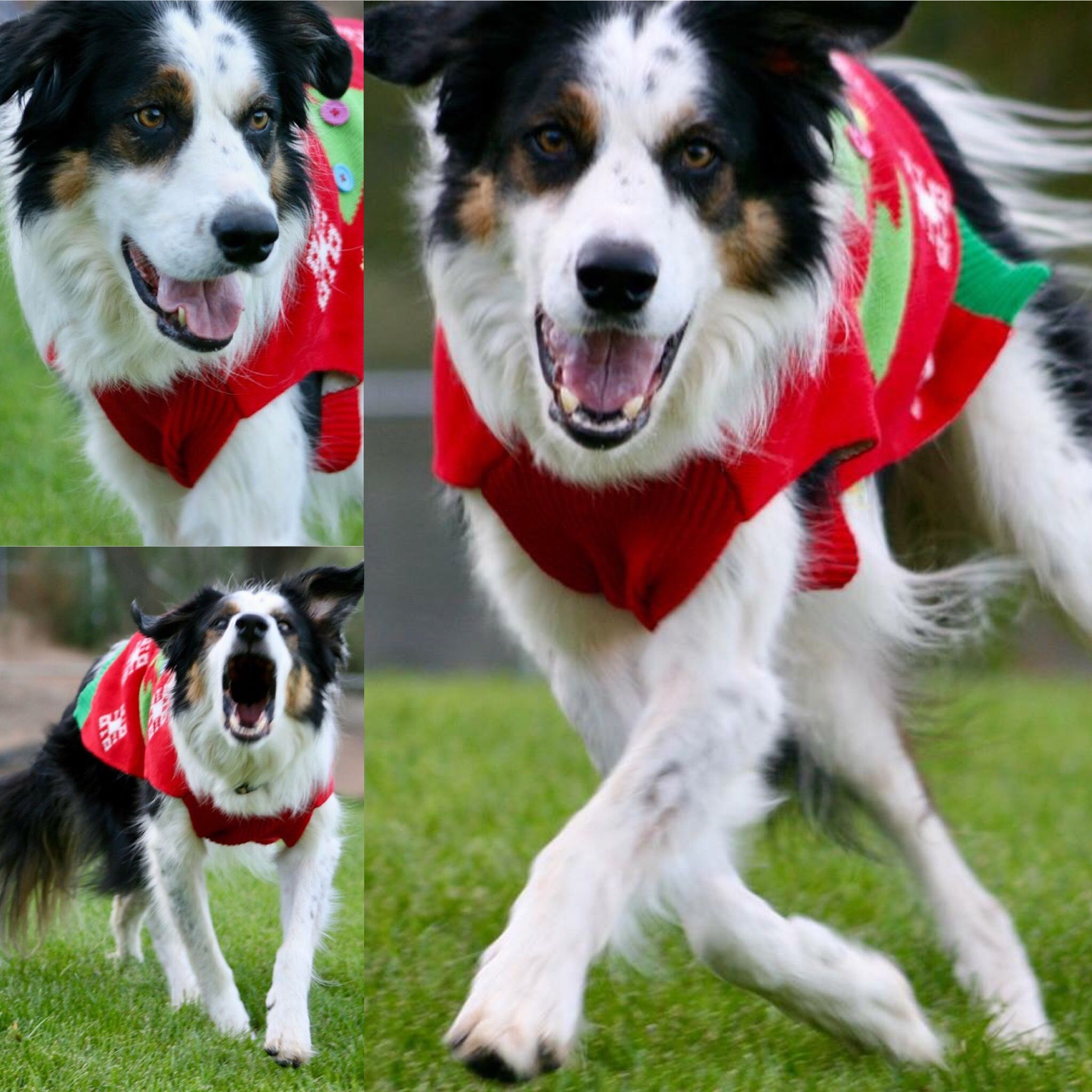 Pin by pamus dog academy on twix the smartest border collie
