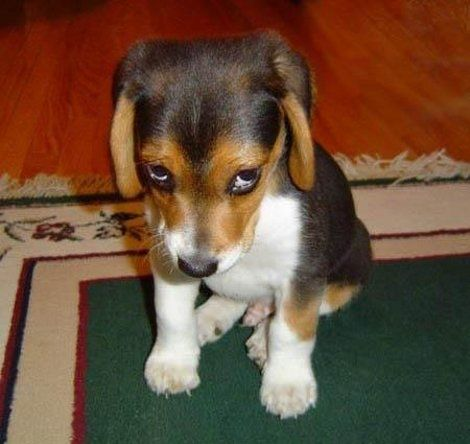 So You Forgive Me Cachorros Divertidos Perro Culpable Perros
