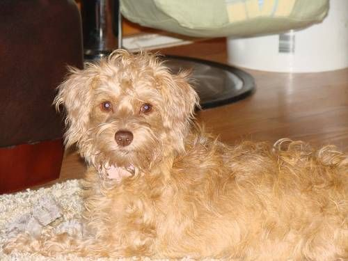 Daisie Myia My 2nd Generation Schnoodle Puppies Schnoodle